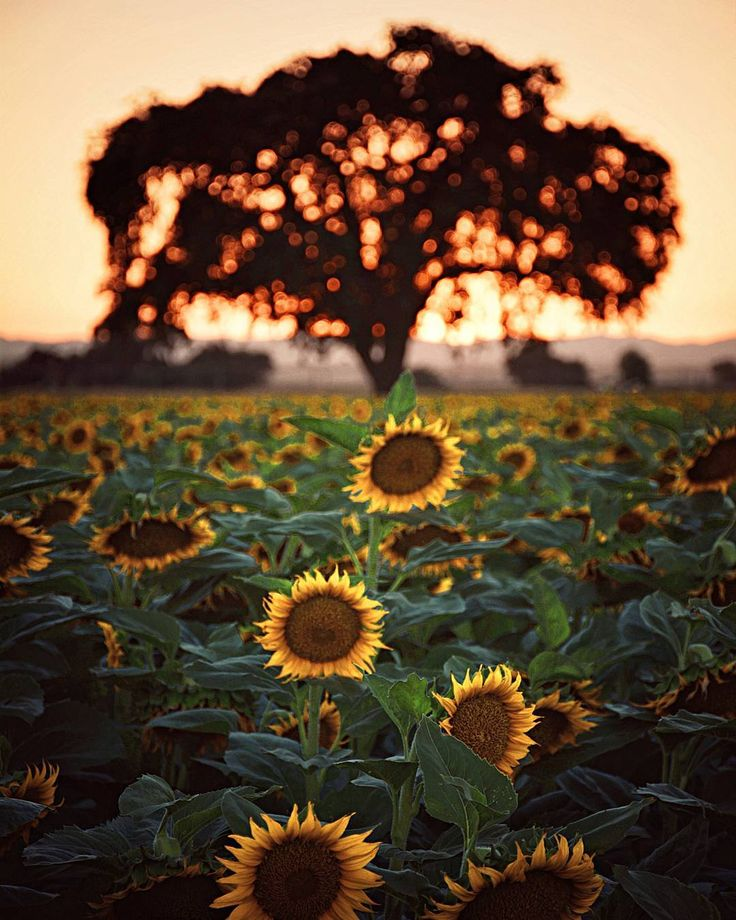 Sunflower field shaded by an old Oak tree. Yolo County, California by David Moreno (@dmoreno620) on Instagram.