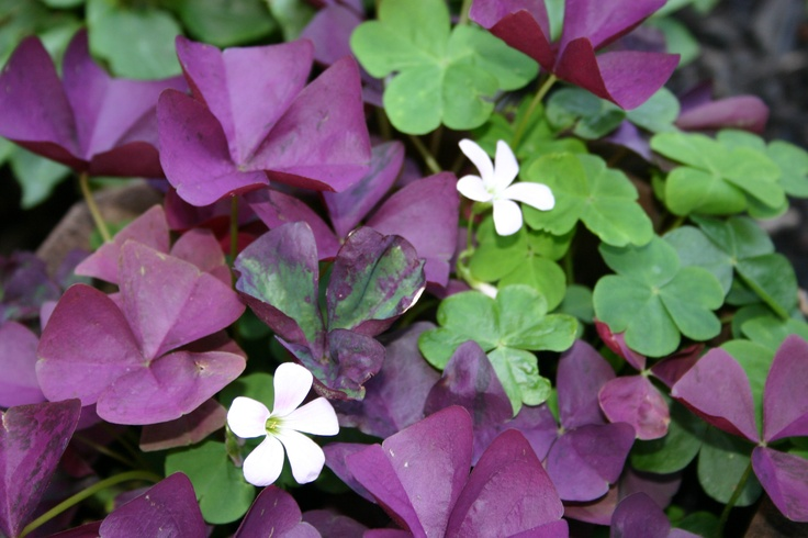 This is a picture of my shamrock flower, also known as Oxalis or wood sorrel. (Lisa Hamill July 2012)