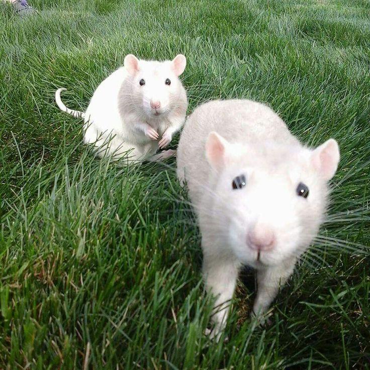 Wanna play wif us? Cute rats, Pet rats