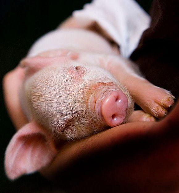 Sleeping Piglet