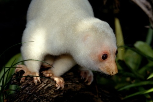 spotted cuscus   Animals & Insects   Pinterest   Animal ...