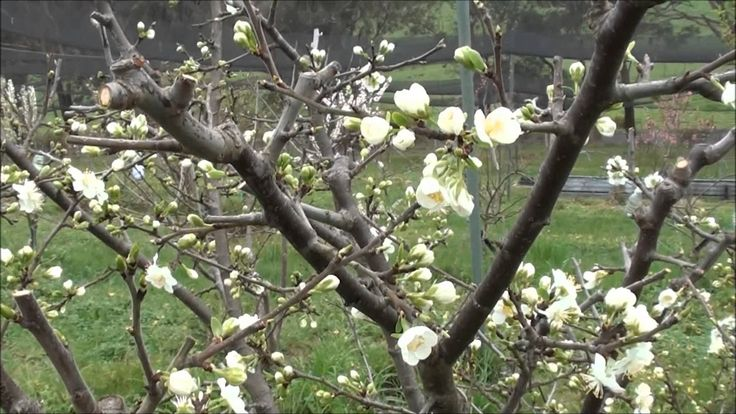 Video on how we prune our plum trees to reduce height and width and to produce maximum good size fruits. We normally prune during Winter. Occasionally we do ...