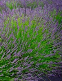 [ Tips: Growing Lavender ] It will thrive in a sunny, sheltered position in well-drained soil. The plants can tolerate poor, stony soils and very dry conditions once they are established, but will suffer if kept in damp soil for a long period. Watch it grow outdoors or indoors with a few handy tips. ~ from the HerbExpert.co.uk