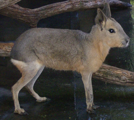 The Patagonian Cavy is the 4th largest rodent in the world.