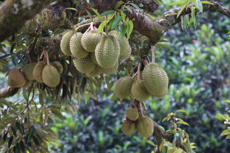Durian galore