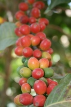 Coffee cherries in Yemen - I enjoyed the white coffee with ginger pieces made over a bunsen burner on a bus...