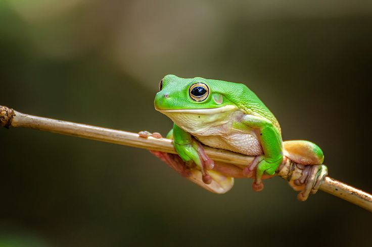 A green tree frog sitting pretty to my camera
