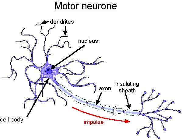 What is lower motor neuron disease