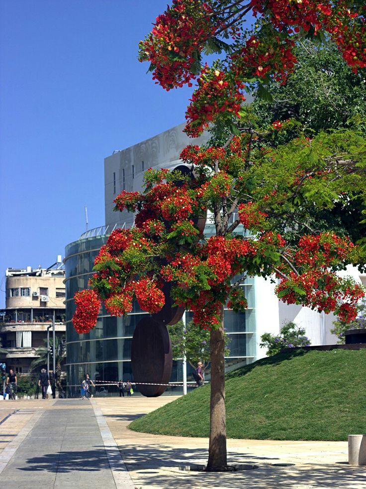 Red Poincettia tree (Delonix regia) in Tel Aviv
