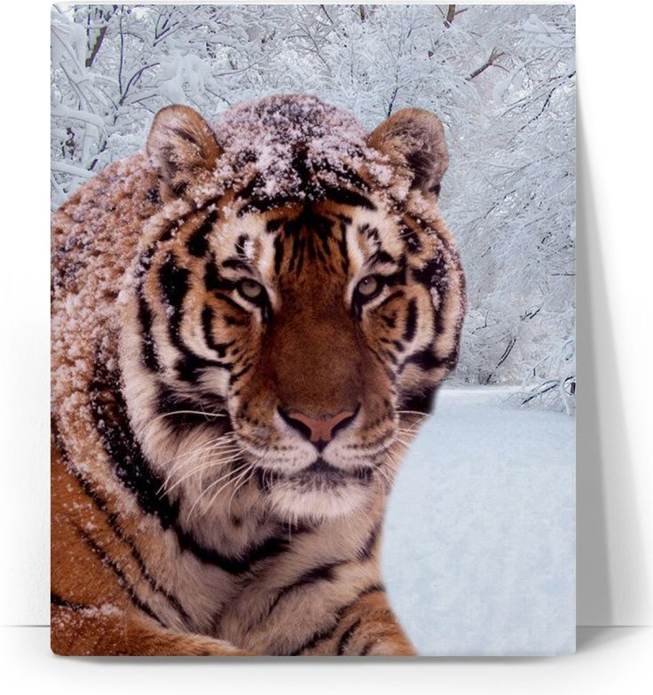 Check out my new product https://www.rageon.com/products/tiger-and-snow-canvas-art-print?aff=BWeX on RageOn!