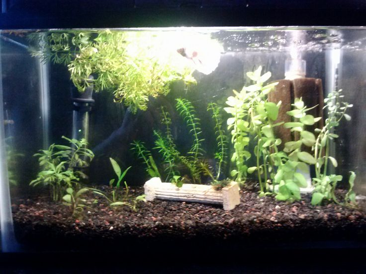 5 5 Gallon Tank Good Betta Tank Water Sprite Like Ghost Amano Shrimp Tetra Ht 10 50w Heater Hydro Sponge Pro Filter Planted Betta Tank Betta Betta Tank
