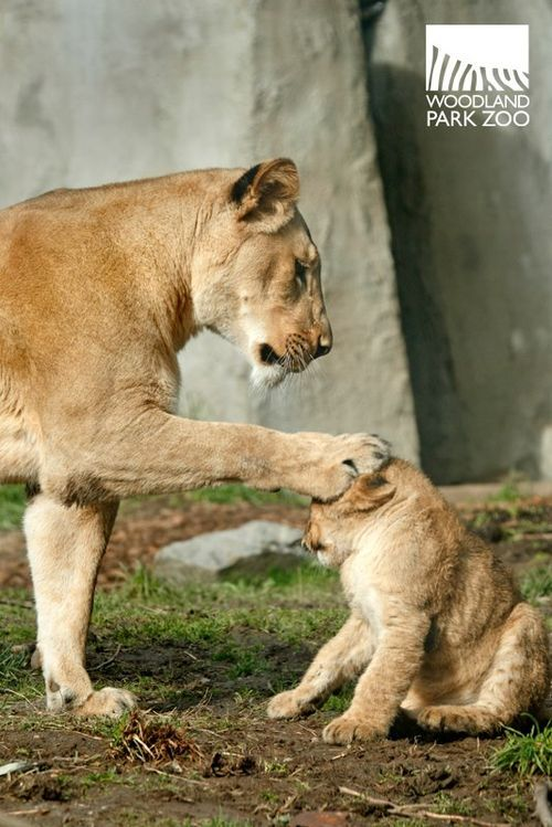 Four growing cubs could be a paw-full for mom, but, as you can see from the picture below, she is always in charge.