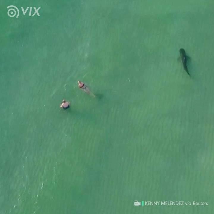 El paseo de un tiburón tigre entre las persona en una playa de #Miami. Así se vio el suceso desde un #dron. #CompartimosNoticias. #action #urban #win #sport #video #aerialphotography    #sports #camera #photography #photo #amazon #film   #gopro #dronephotography #drone #dronestagram #dji #drones
