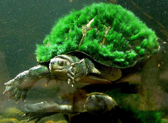 A rare turtle known for sporting green algae as 'hair' is