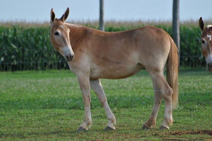 A mule is a hybrid between a male donkey and a female horse and a hinny is a hybrid between a female donkey and male horse?!