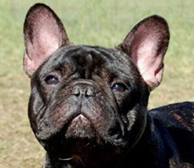 French Bulldog El Che And 15 Puppies Stolen From A Miami Breeder