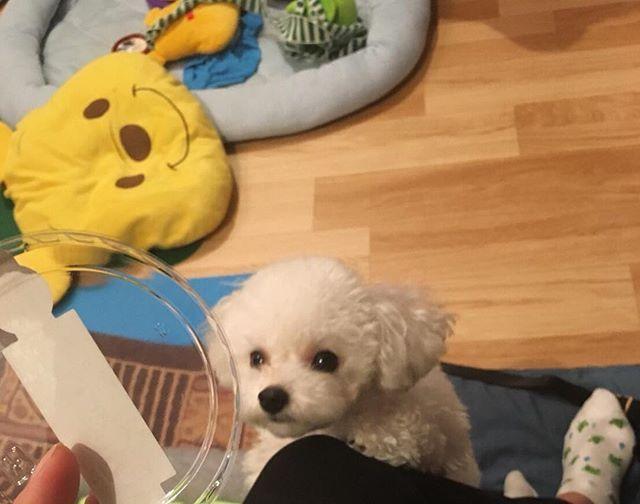 狙ってるアンディ かわいすぎる🤤💓💓 . #愛犬#トイプードル#トイプードルアンディ #トイプードルホワイト #トイプードル子犬 #mydog #dog #doglover #dogslife #instadog #instalike #instagood #instadaily #nice #nicepicture #goodmorning #goodlife #good #cute#toypoodle #犬#可愛すぎ#お菓子を狙うあんでぃ