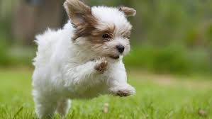 Billedresultat for havanese puppy