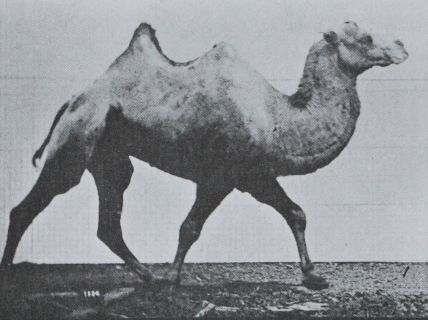 Animated sequence of a bactrian camel racking taken by Eadweard Muybridge, 1887, public domain via Wikimedia Commons.