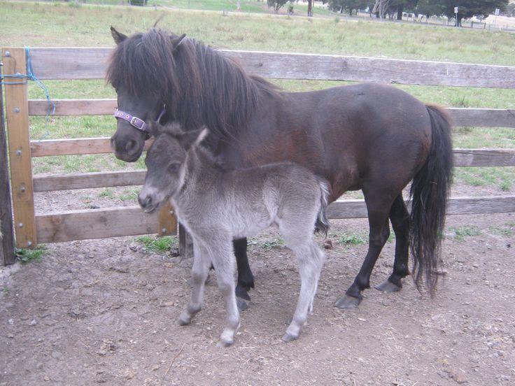 Pentland Noreen and her foal Arthur, born 14/11/14.
