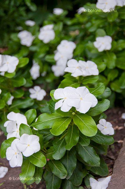 Madagaszkárról származó, nálunk általában egynyáriként nevelt fagyérzékeny félcserje, melyet ötszirmú, csillag alakú virágok ékesítenek.