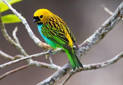 saíra douradinha ou dourada_tangara cyanoventris Brazilian Birds