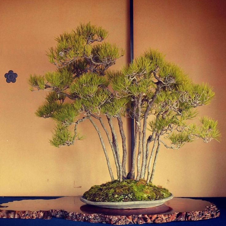 449 best images about great bonsai trees on pinterest for Famous bonsai trees