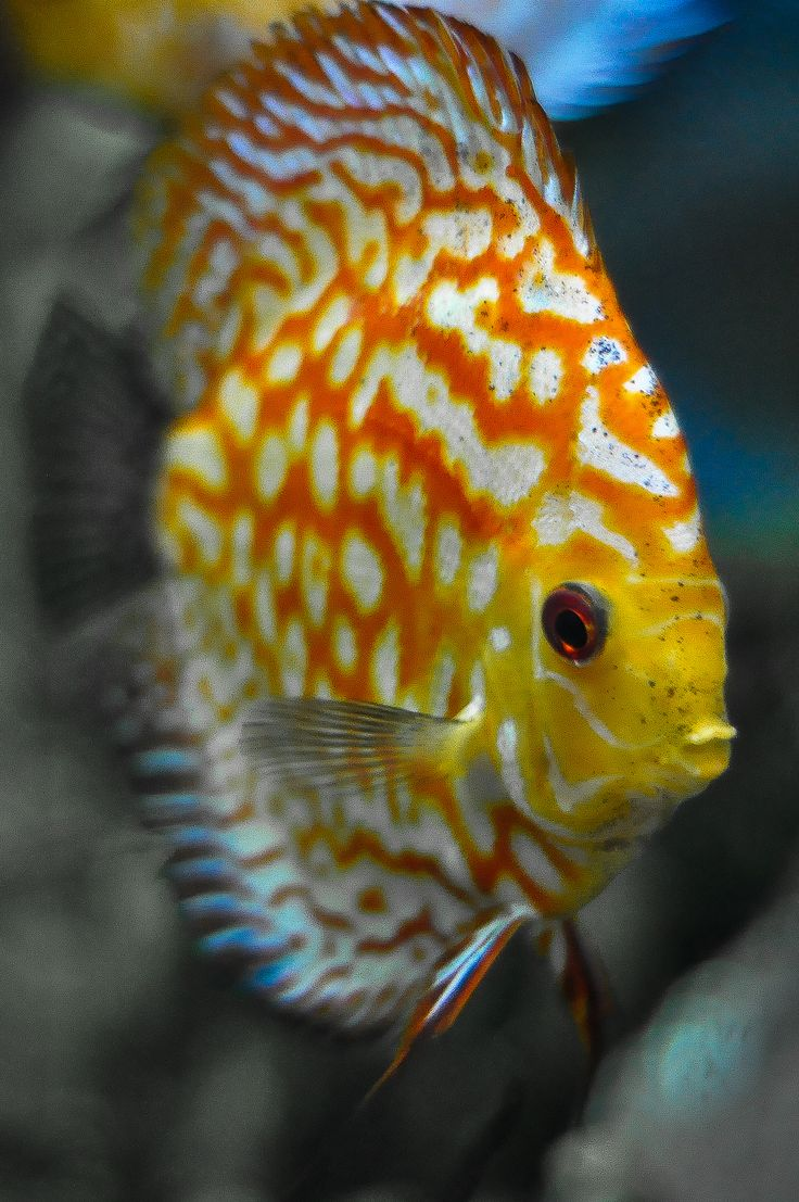 Fish aquarium karachi - Discus Fish By Sebastian Sans