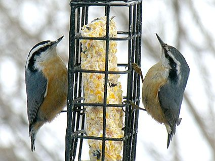 Red-breasted Nuthatch  Adult male and female        Male with black cap, female with gray cap      Male with brighter red underparts, brighter blue back