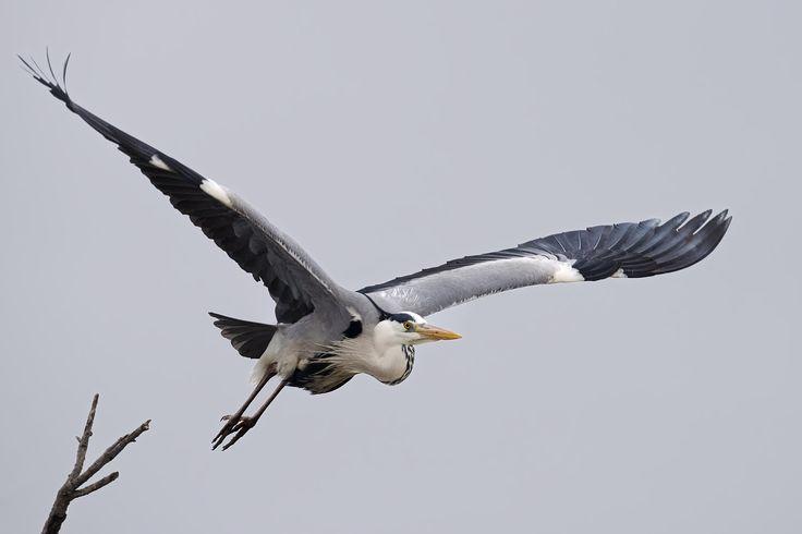 Airone cinerino spicca il volo - Un airone cenerino spicca il volo in tutta la sua maestosa forza ed eleganza.