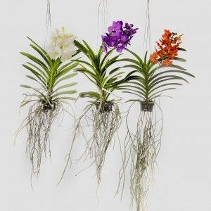 The best way to grow Vanda orchids is to grow them bare-rooted in wooden basket, as they have extremely long roots.  http://www.lookingafterorchids.com/useful-articles/vanda-orchids-care-and-specifics/