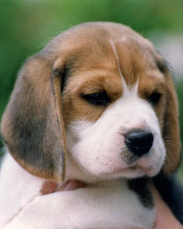 Beagles are happy-go-lucky and friendly, making them a wonderful family pet.