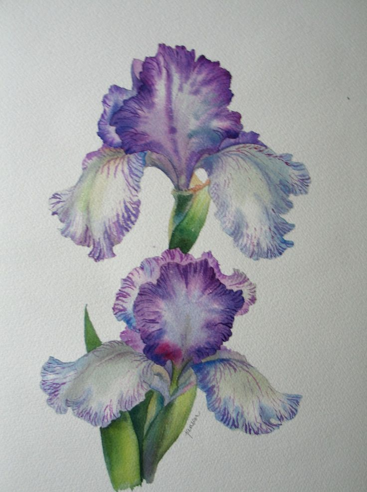 Nel's Everyday Painting: Striated Iris Watercolor