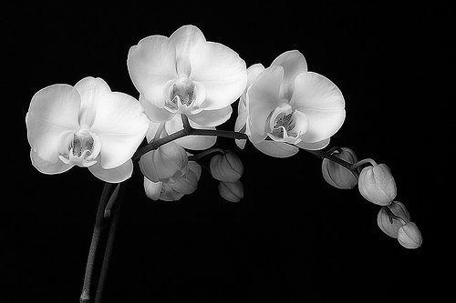 Beautiful Black And White Orchid Tattoo Design Idea