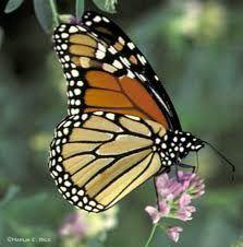 http://plazilla.com/page/4295019362/de-amerikaanse-monarchvlinder-danaus-plexippus