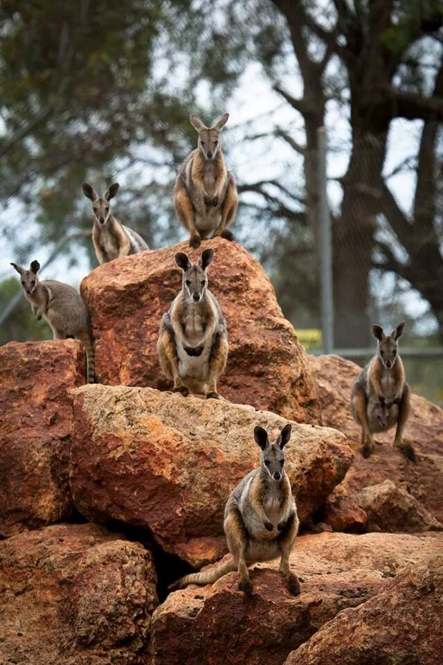 Australia ~ Wallabies on the rocks in Charleville, Qld