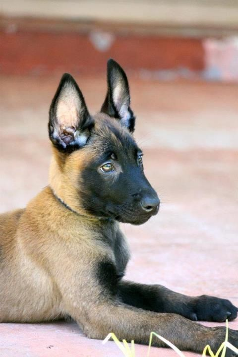 Belgian Malinois Shepherd Dog. Love the unique print
