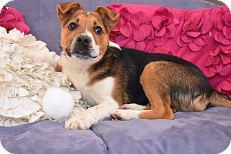 Hagerstown, MD - German Shepherd Dog/Beagle Mix. Meet Jesse, a puppy for adoption. http://www.adoptapet.com/pet/17814259-hagerstown-maryland-german-shepherd-dog-mix