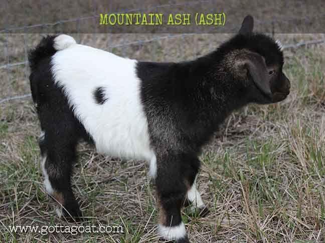 Mountain Ash