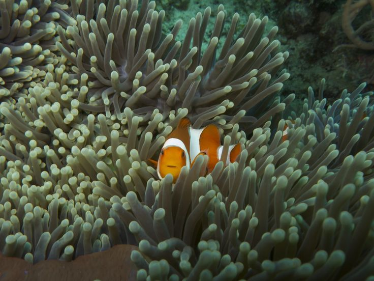 Hello there... Clownfish or anemonefish are fishes from the subfamily Amphiprioninae in the family Pomacentridae. Thirty species are recognized: one in the genus Premnas, while the remaining are in the genus Amphiprion.