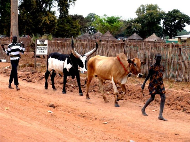 Boys with cattle in Rambek, South Sudan.