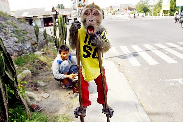 A street monkey performs on a sidewalk in Solo, Indonesia. By 2014 to improve public order and prevent disease transmitted by monkeys. The city's administration plans to buy monkeys and keep them in a zoo. (kethek ogleng;)