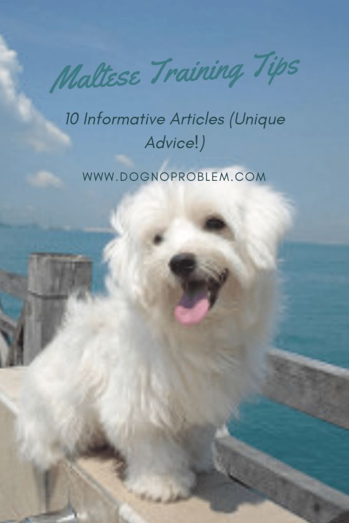 Maltese Training Tips Maltese Training Dog Training Dog Potty