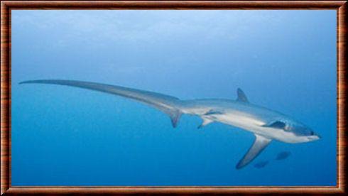 Alopias pelagicus Requin-renard pélagique (Alopias pelagicus)