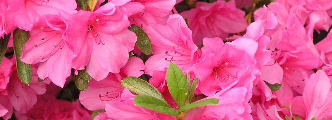 Azalia ogrodowa: choroby, zapobieganie. Jak zwalczać choroby azalii?