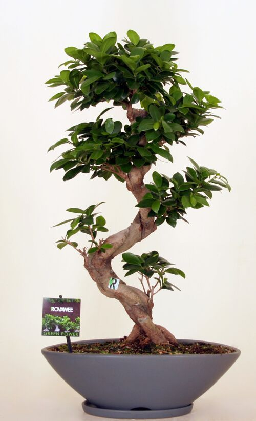 Dropbox - Green Power- Ficus Ginseng  micr S type  mat grijs.jpg