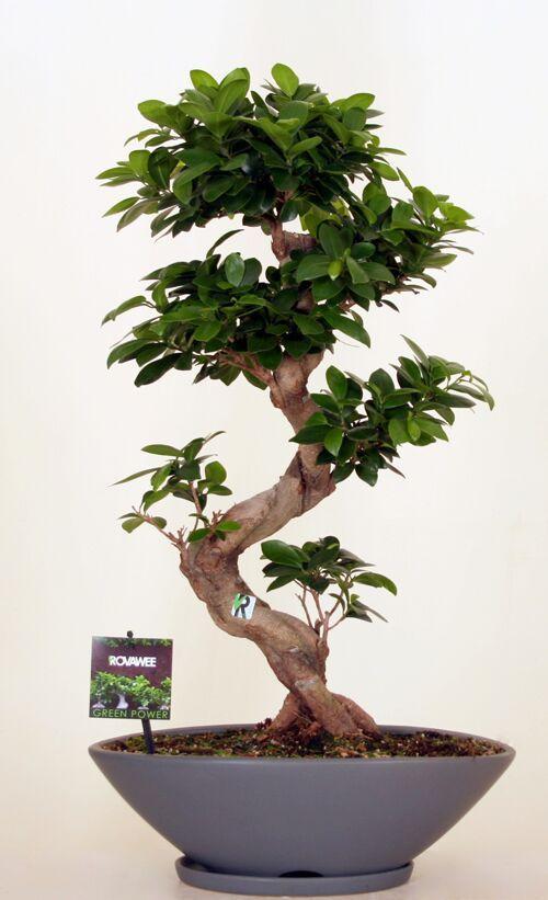 Dropbox - Green Power- Ficus Ginseng  micr S type  mat grijs.jpg