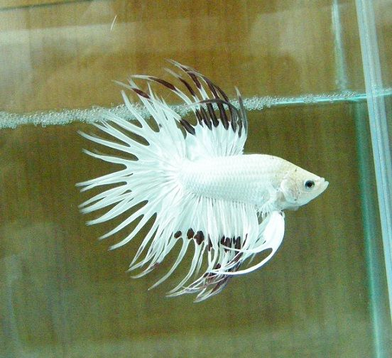 17 best images about fish on pinterest betta fish tank for Betta fish sale