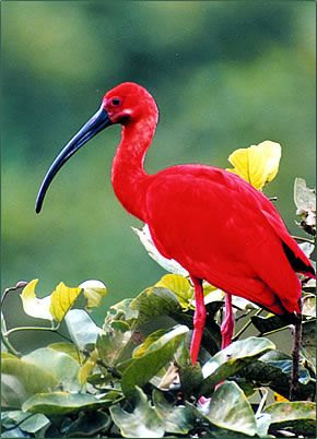 The Scarlet Ibis is Trinidad & Tobago's national bird, found on Trinidad's coastal and inland mangrove swamps such as the Caroni Swamp