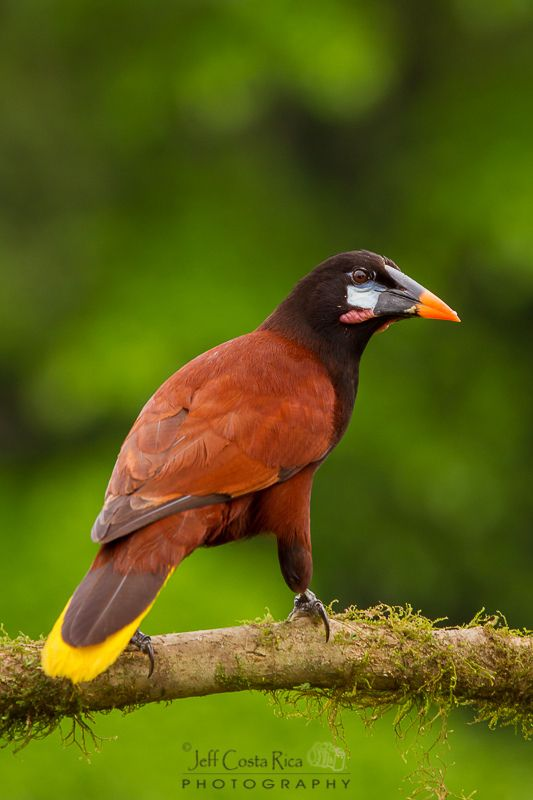 La zacua mayor, también conocido como conoto de Moctezuma, papan, oropéndola mayor o urupa - The Montezuma Oropendola (Psarocolius montezuma) is a New World tropical icterid bird.